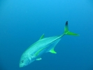 Blacktip Kingfish
