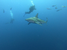 Some shark diving on Protea Banks with Oceanic Blacktip sharks.