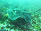 Berny and Tazuko - Round Ribbontail Ray on Protea Banks