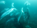 Scuba diving with Dolphins on Protea Banks.