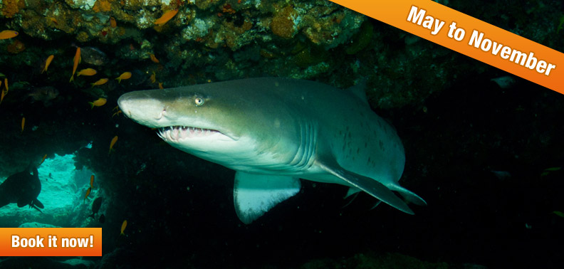 RAGGED-TOOTH SHARKS ON PROTEA BANKS!