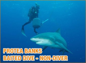 cat-diving-Protea-Banks-Baited-shark-dive-non-diver3